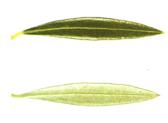 hojiblanca2