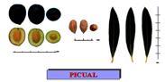 picual1